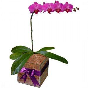 Orquídea no Vaso Pink